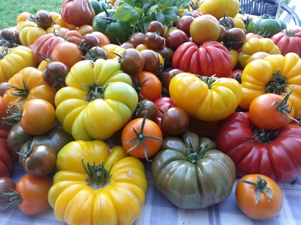 Curious Cropper Heirloom Tomatoes